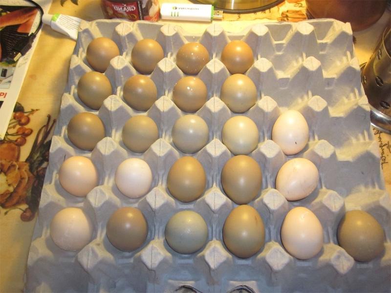 Фазан. Инкубация яиц и как отобрать яйца для разведения