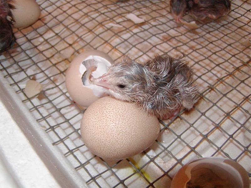 Инкубация яиц цесарки и долгожданное потомство