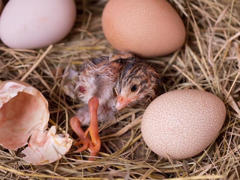 Инкубация яиц цесарки в домашних условиях