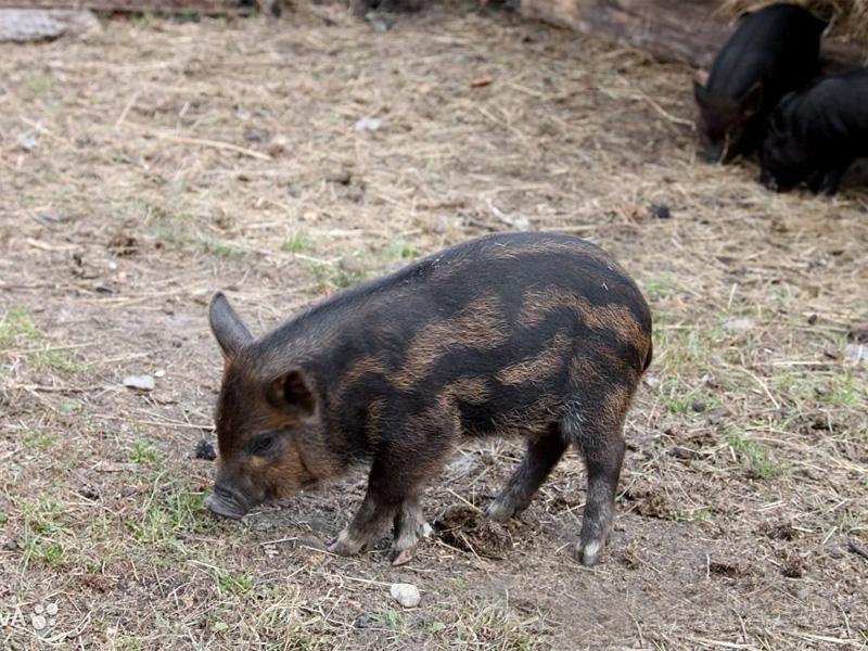 Кармалы – порода свиней и описание породы