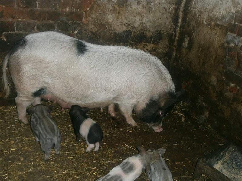 Кармалы – порода свиней и правила содержания