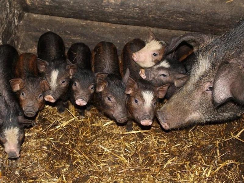 Кармалы – порода свиней и рацион питания поросят