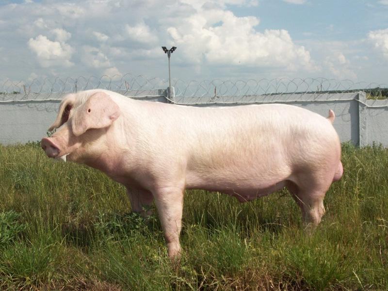 Ландрас – порода свиней. Характеристика и происхождение типа