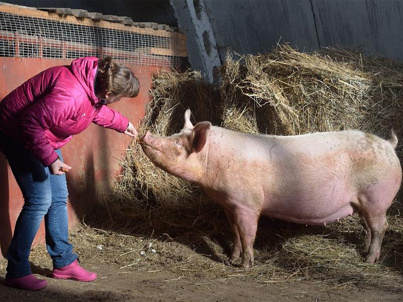 Ландрас – порода свиней. Характеристика и отношение к людям