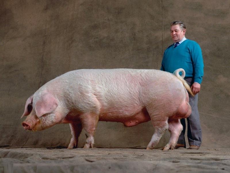 Ландрас – порода свиней. Характеристика немецкой породы