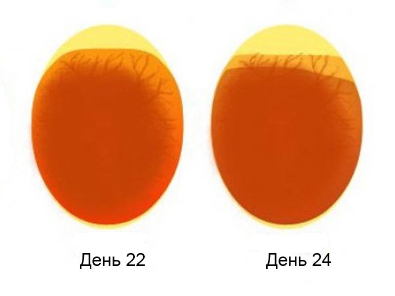Овоскопирование утиных яиц за несколько дней до вылупления