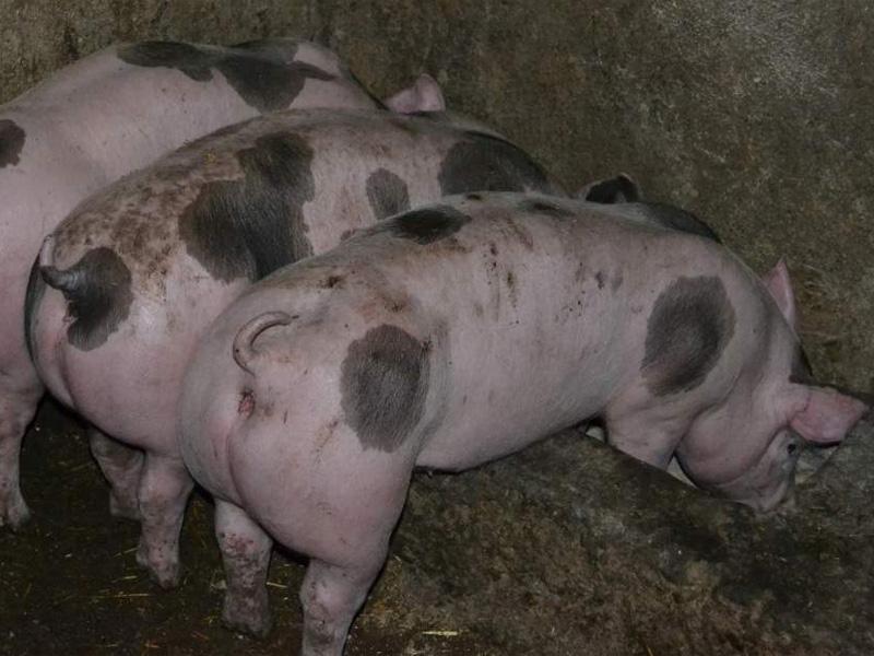 Порода свиней Пьетрен и правила содержания