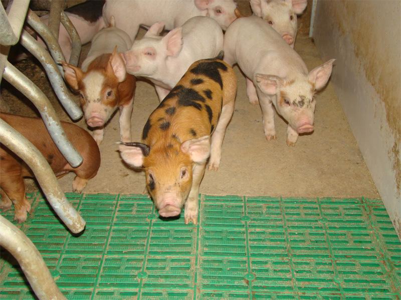 Порода свиней Пьетрен и правила ухода за поросятами