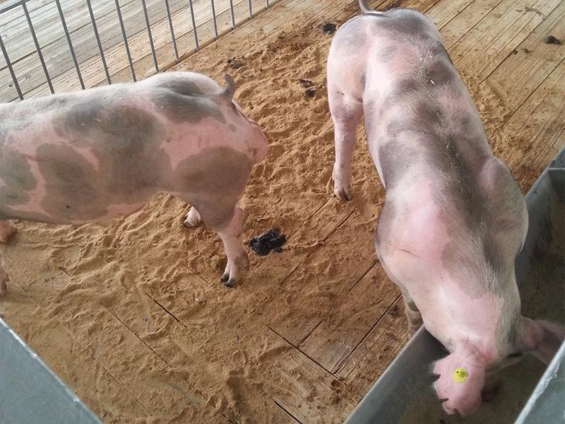 Порода свиней Пьетрен и рацион питания