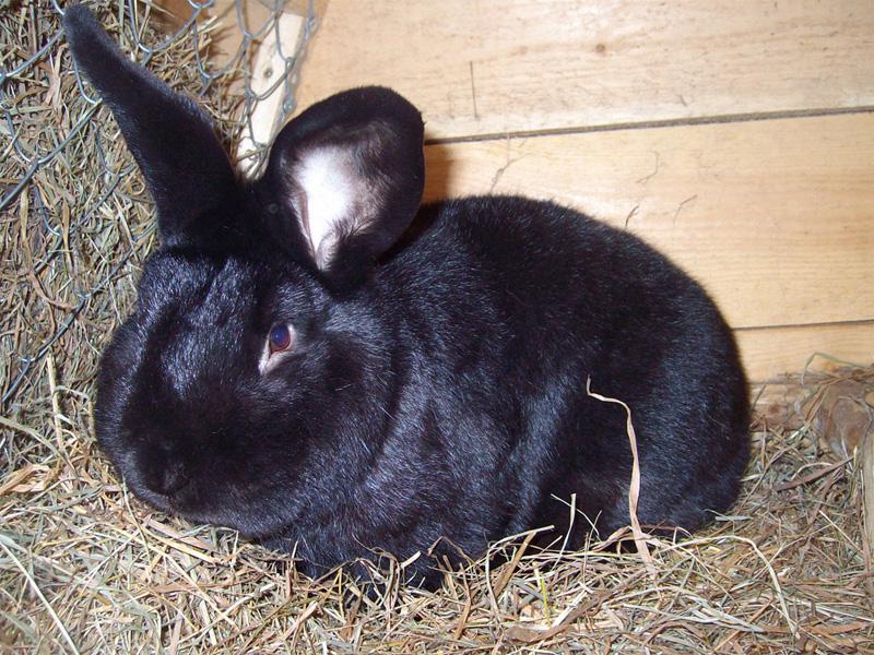 Породы кроликов черной расцветки