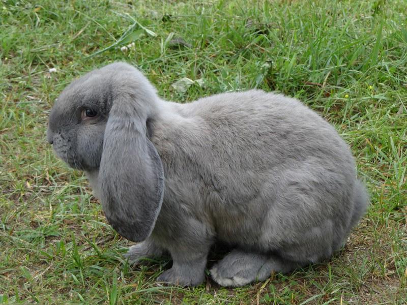Породы кроликов французского происхождения