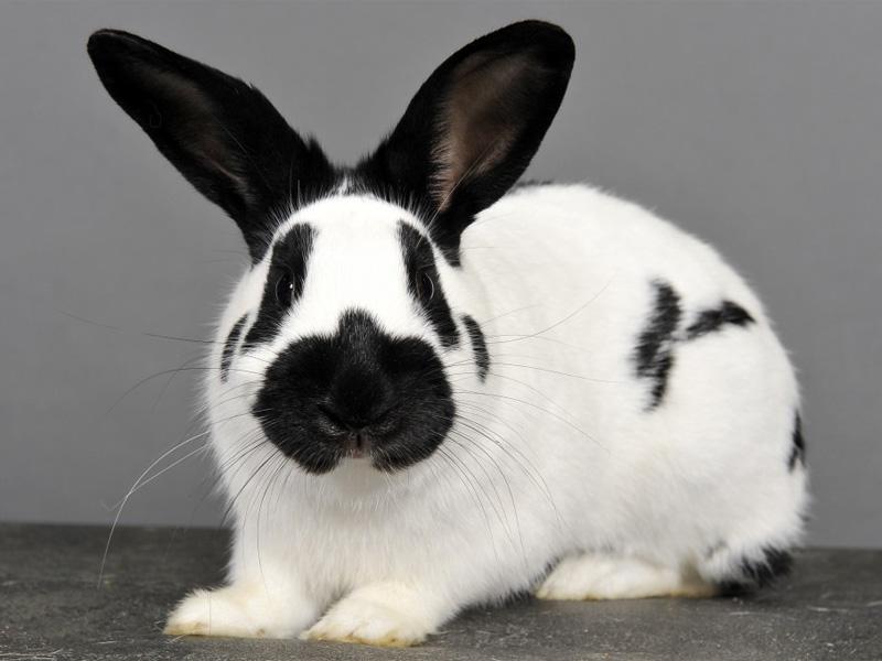 Породы кроликов типа бабочка