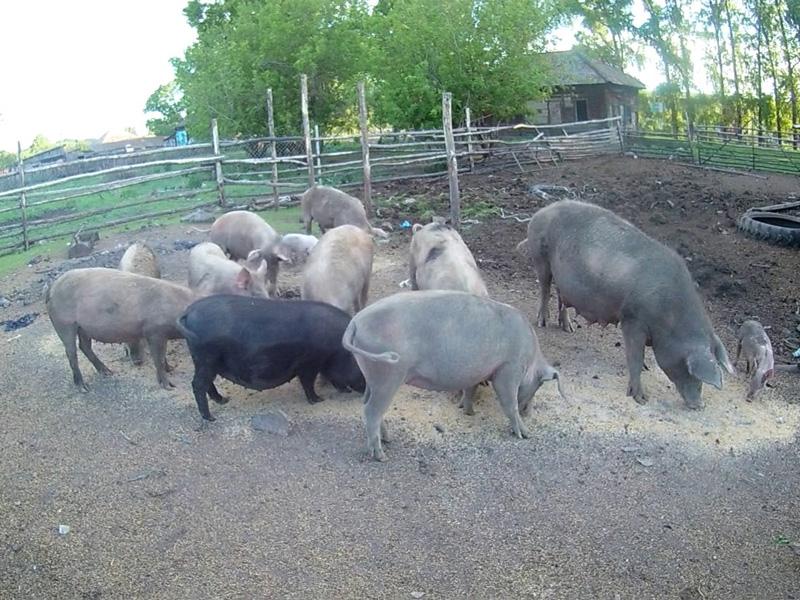 Выгодно ли держать свиней на продажу мяса в домашних условиях