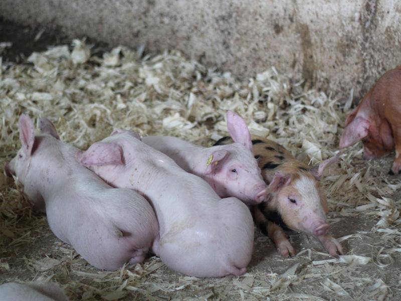 Выгодно ли держать свиней на продажу мяса и как купить поросенка
