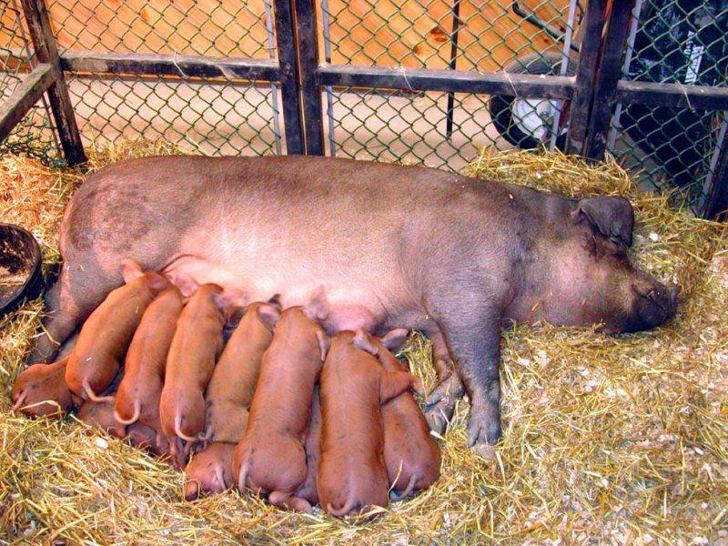 Выгодно ли держать свиней на продажу мяса и как выбрать свиноматку