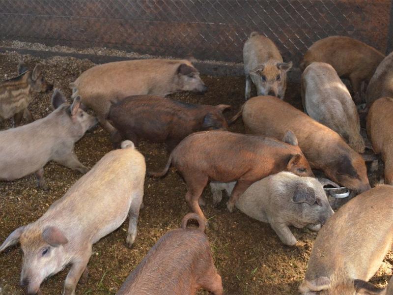 Выгодно ли держать свиней на продажу мяса и продать на рынке поросят