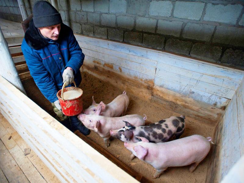 Выгодно ли держать свиней на продажу мяса и сколько есть поросенок