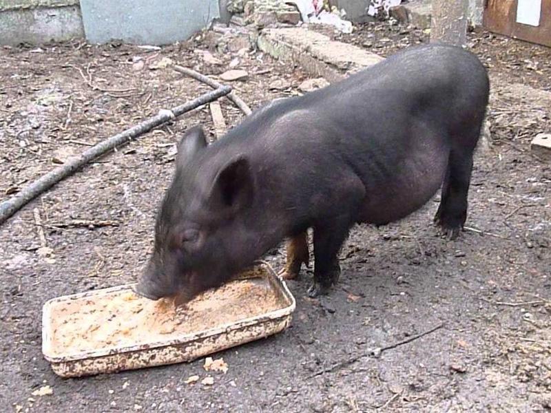 Выгодно ли держать свиней на продажу мяса и сколько ест свинья за полгода