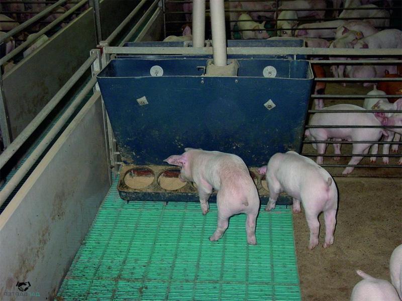 Выгодно ли держать свиней на продажу мяса и количество потребляемой пищи