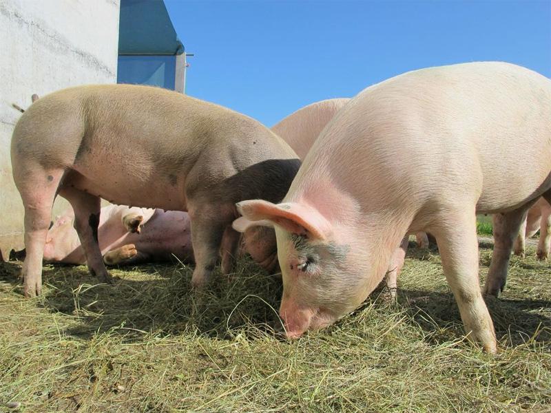 Как вырастить поросенка на мясо в домашних условиях