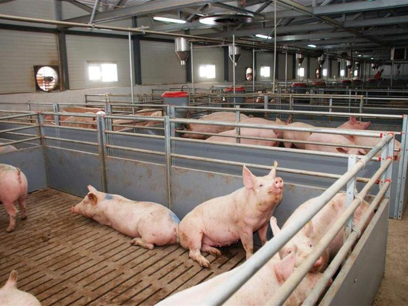Выгодно ли держать свиней на продажу мяса