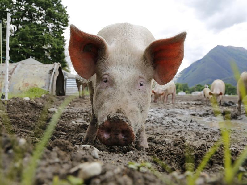 Выращивание свиней в домашних условиях, как бизнес и его основы