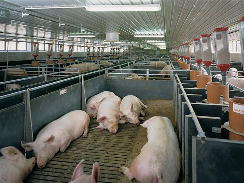 Выращивание свиней в домашних условиях, как бизнес и правила разведения