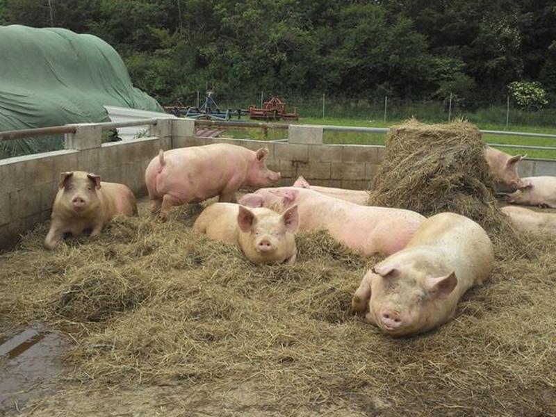 Выращивание свиней в домашних условиях, как бизнес и продажа на убой