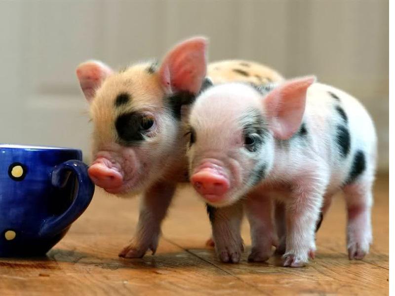 Выращивание свиней в домашних условиях, как бизнес и разведение поросят