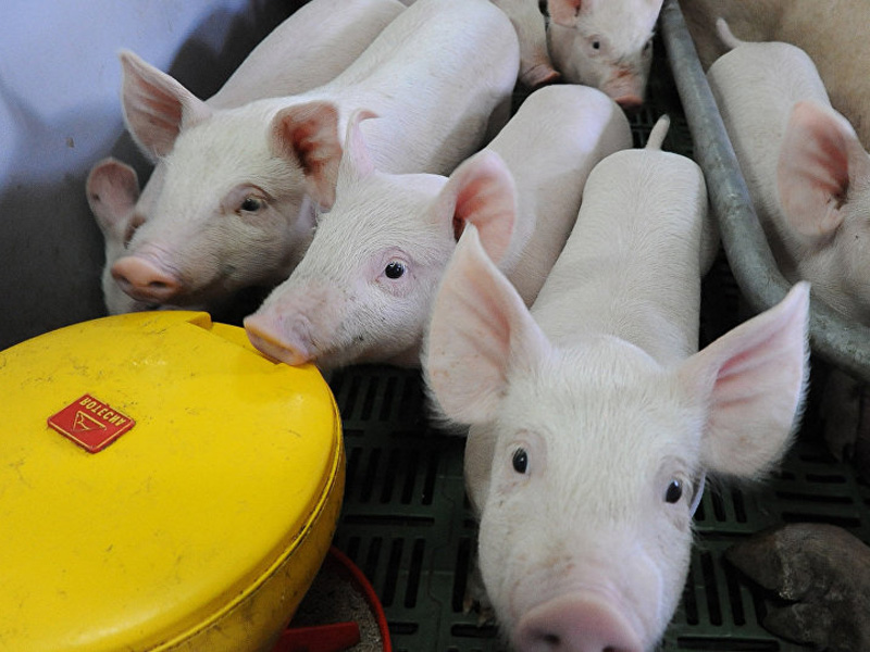 Выращивание свиней в домашних условиях, как бизнес и дневной рацион поросенка
