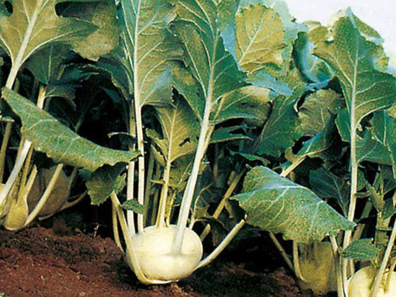 Капуста кольраби агротехнические требования
