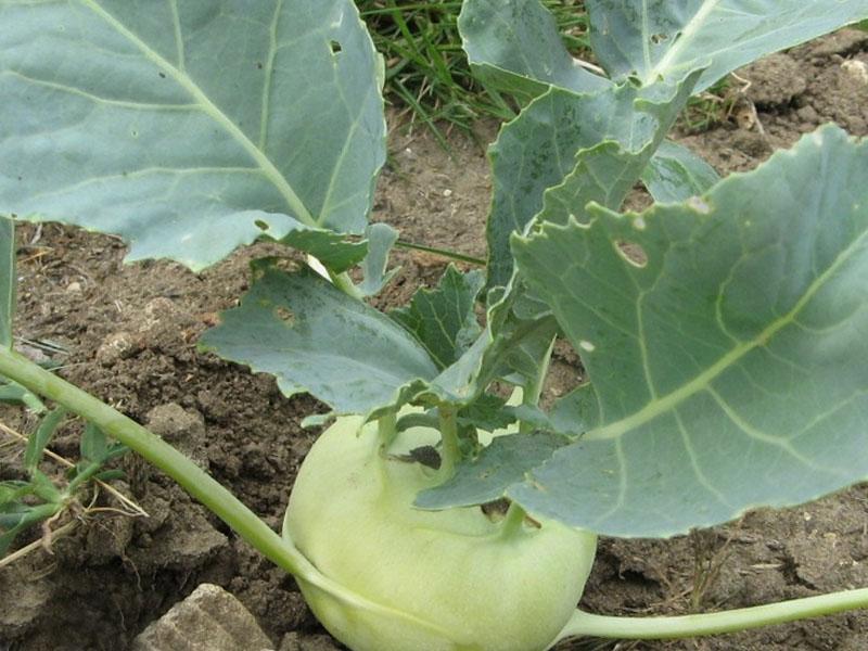 кольраби сбор урожая