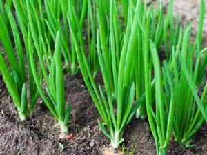 Чем удобрить лук в июне