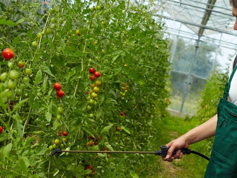 Чем удобрять любимые овощи в теплице