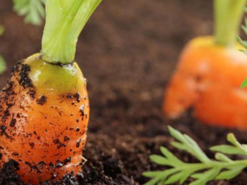 не всходит морковь