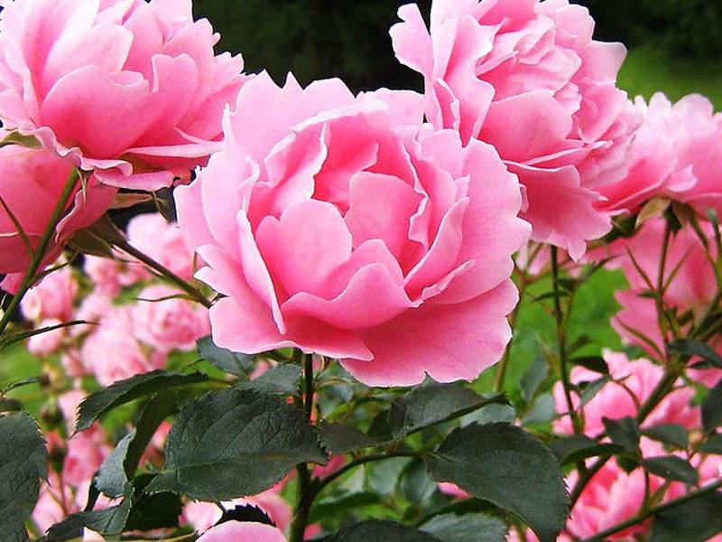 Почему не цветут пионы: 5 возможных причин