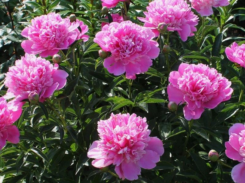 Почему пионы мало цветут