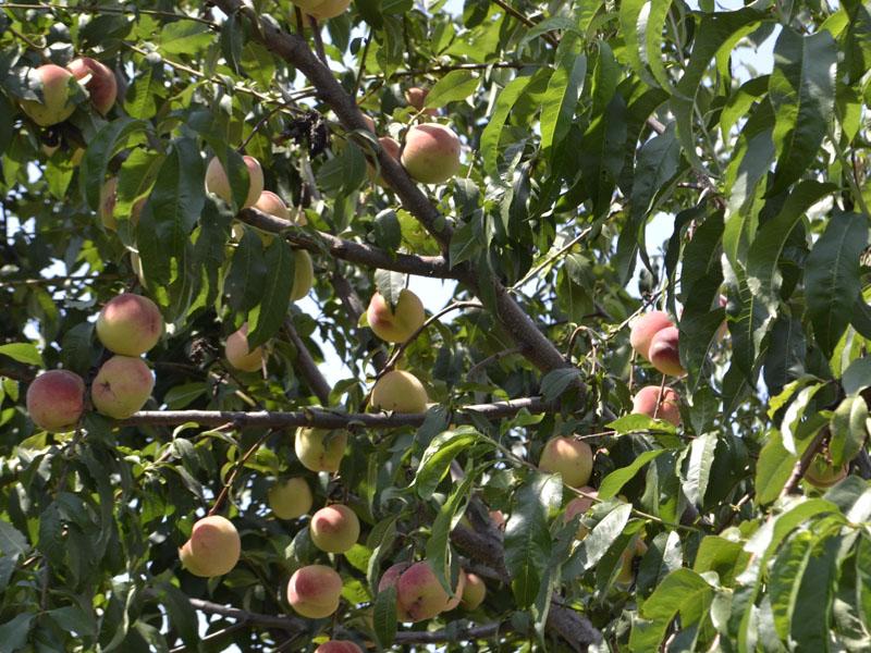 Почему у яблони скручиваются листья