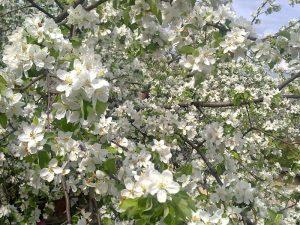 Почему яблоня не цветет