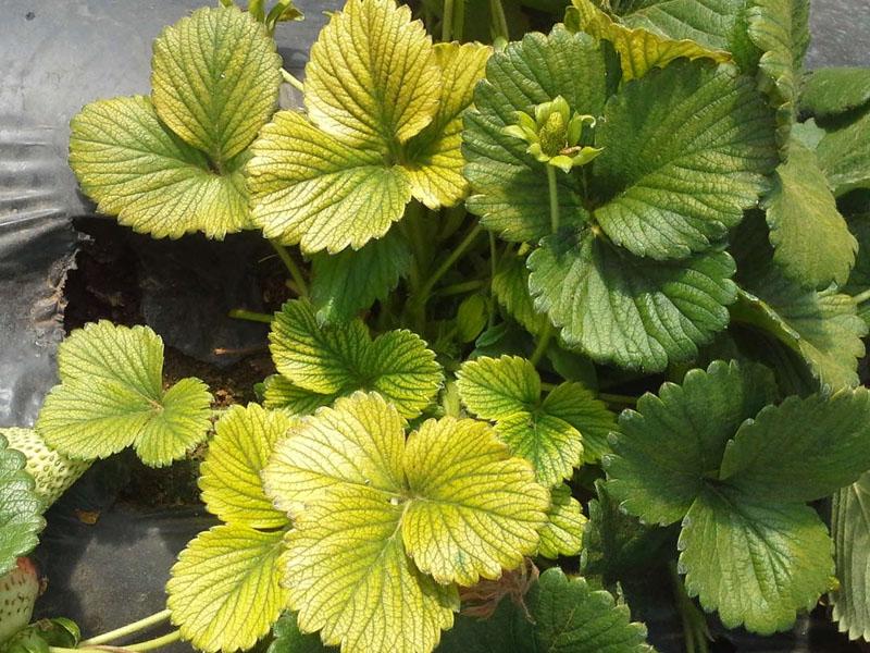 Причины появления желтизны на листьях клубники
