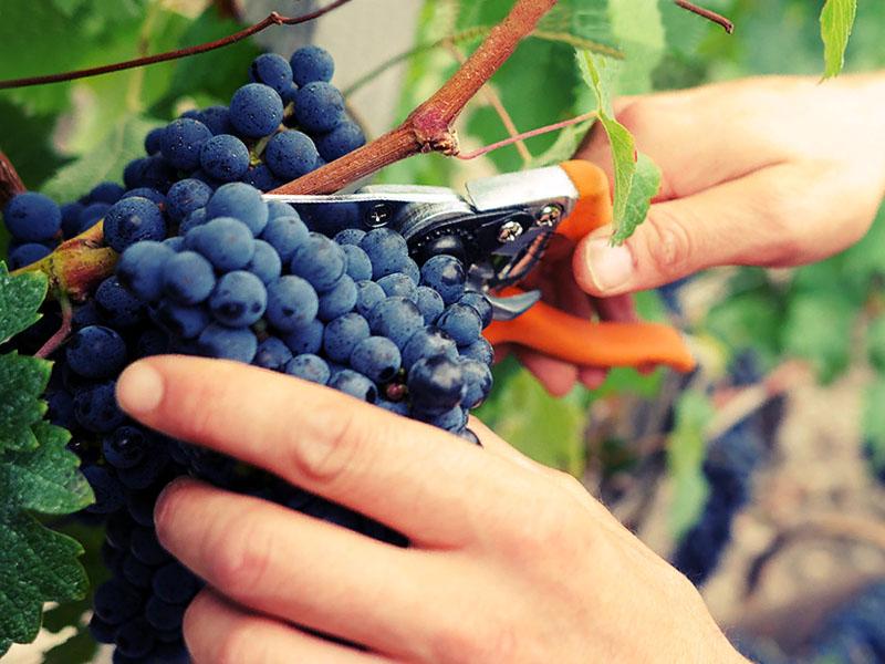 прореживание гроздьев винограда