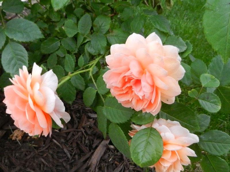 Способы проведения внекорневой подкормки розы летом