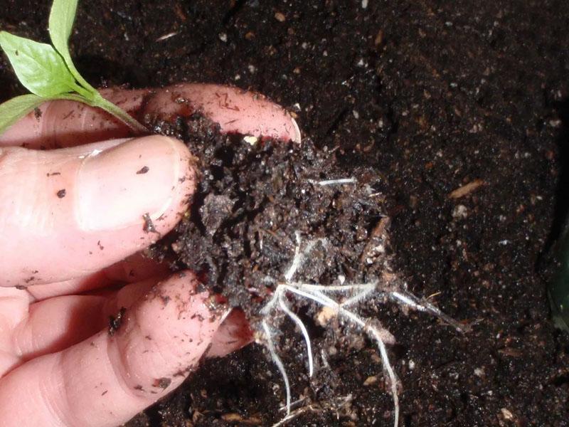 хрупкая корневая система перца