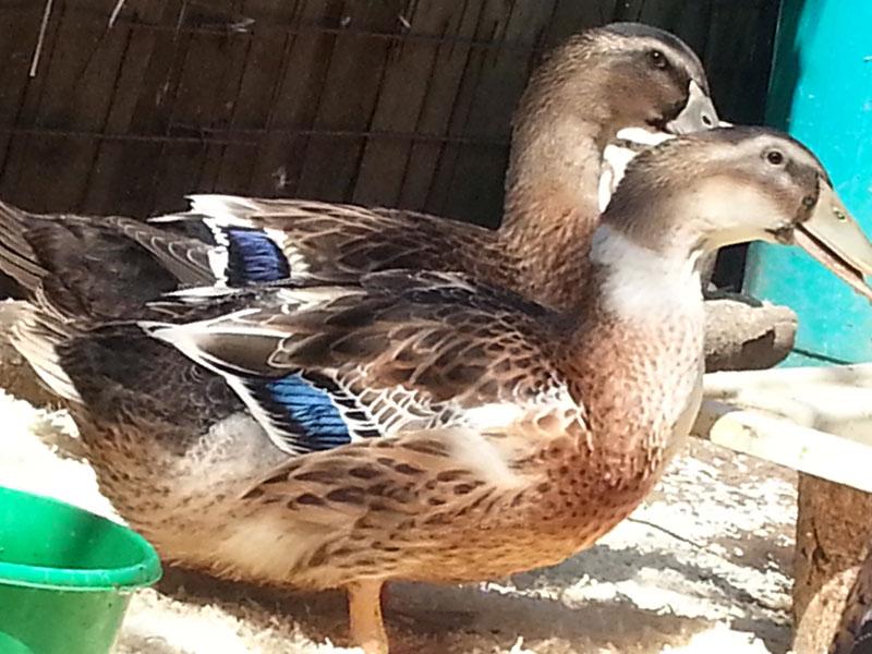 Башкирская утка: описание породы