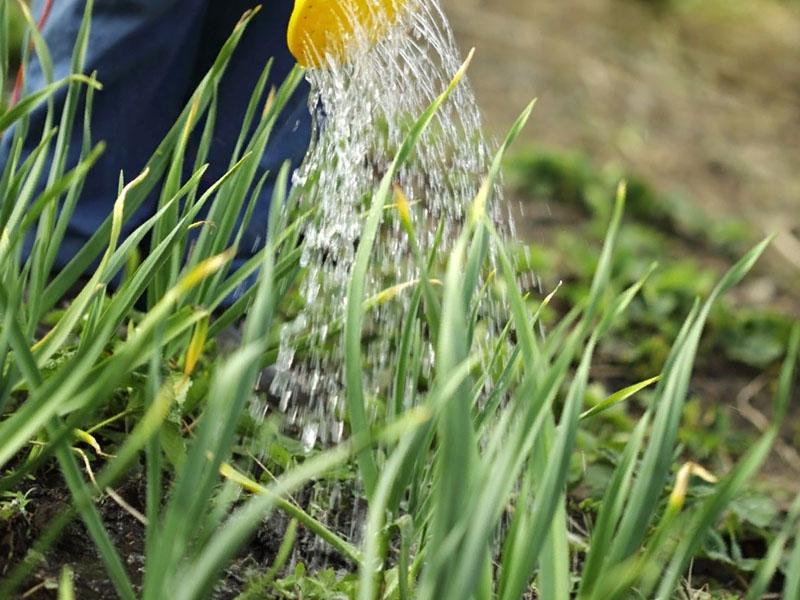 Чем полить желтеющий лук