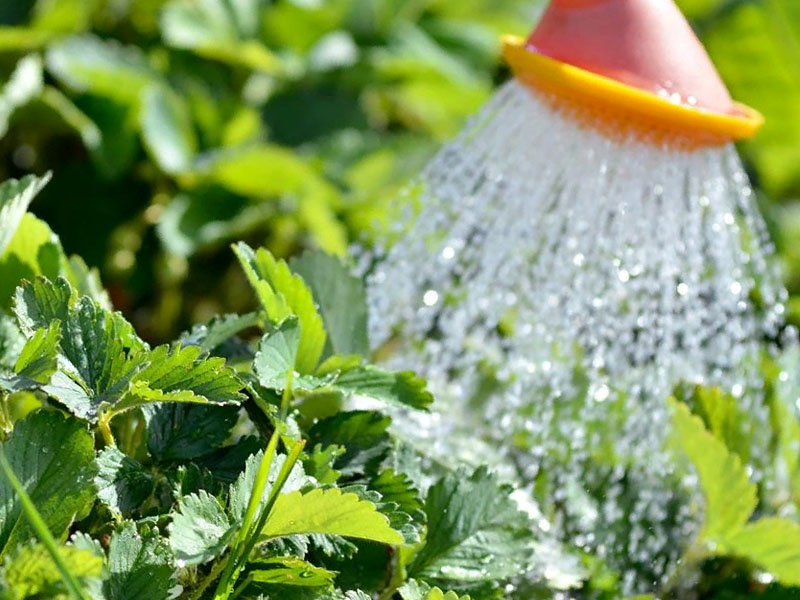 Как часто поливать клубнику летом
