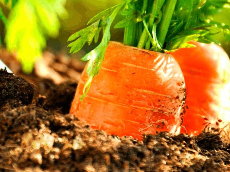 Как правильно удобрять морковь