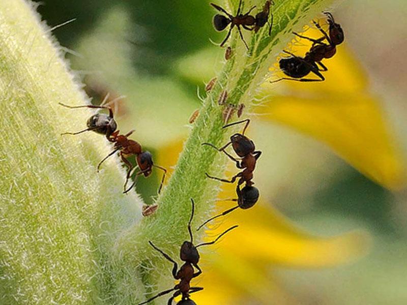 Какие виды муравьев селятся в теплицах