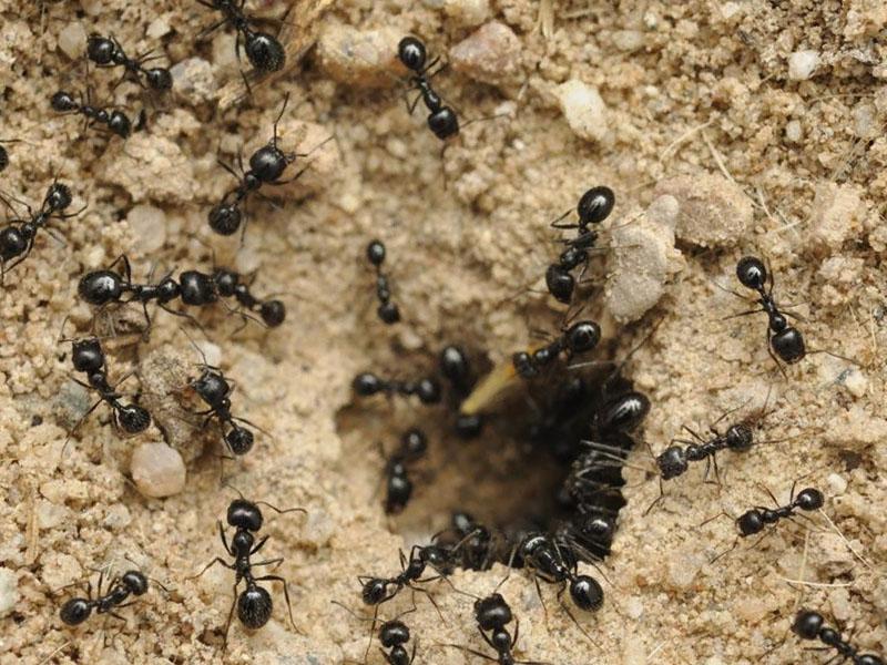 Откуда появляются садовые муравьи