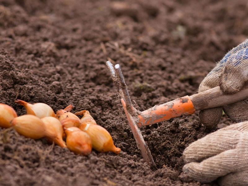Когда сажать лук под зиму в подмосковье. Правила и особенности посадки лука под зиму